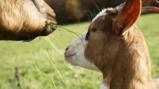 rumiantes sobre nutrición animal