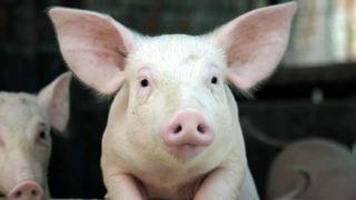 Productos veterinarios para porcino
